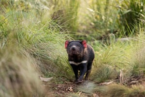 A Tasmanian devil in mainland Australia. Tasmanian devils have been released into the wild on Australia's mainland, 3,000 years after the feisty marsupials went extinct there, in what conservationists described as a 'historic' step