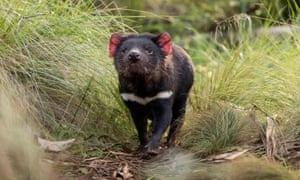 This year Tasmanian devils were released into the wild on Australia's mainland - 3,000 years after they went extinct there.