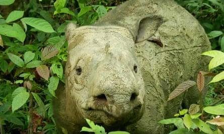 Iman - One of Malaysia's last three Sumatran Rhinos