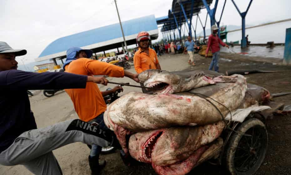 Indonesian fisherman pile the bodies of sharks onto a trailer.