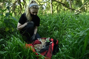 Laura Griffin, a PHD student in Wildlife, Ecology and Behaviour at University College Dublin lets a days-old fallow deer fawn out of its weighing bag