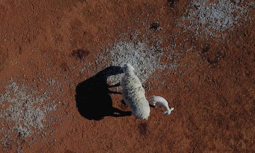 A sheep and her lamb feeding on cotton seed on a drought affected property near Bollon in southwest Queensland, Friday, October 11, 2019. Queensland is in the grip of a crippling drought, with 66 per cent of the state now drought declared. (AAP Image/Dan Peled) NO ARCHIVING