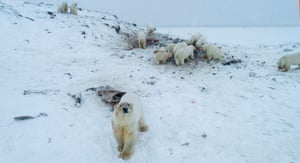 Polar bears outside the village of Ryrkaypiy, Russia