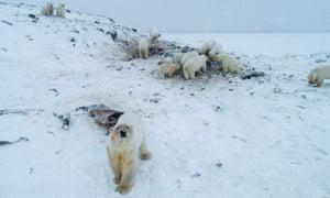 Polar bears gather outside the village of Ryrkaypiy.