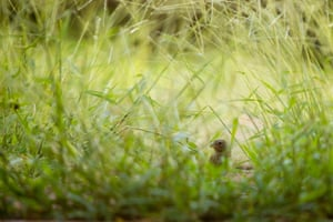 A female saffron finch forages in the grass in Asuncion, Paraguay