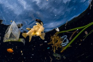 This Sargassumfish couldn't hide among the litter. The nearby frond of Sargassum seaweed was a far cry from the free-floating rafts of the seaweed that more normally shelter this frogfish and many other specialised species on the biodiverse reefs of the Indonesian archipelago of Raja Ampat