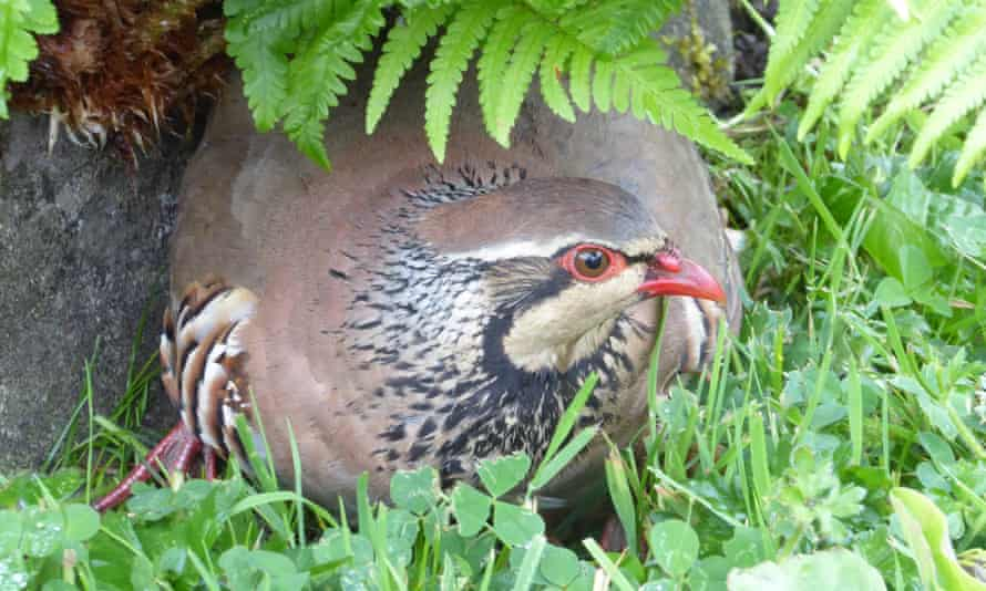A partridge peeps out from underneath ferns.