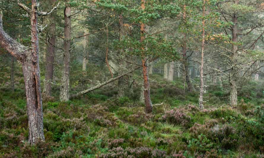 Scots Pine trees in Strathspey.