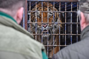 Koroszczyn, Poland One of nine tigers illegally transported from Italy found in a truck at the border crossing with Belarus. One of the animals has died in transit while others remain in a state of extreme exhaustion. The tigers will be looked after temporarily at the Poznań Zoo, from where they will be transferred to an animal shelter in Spain