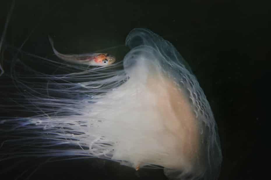 young whiting fish sheltering under a jellyfish