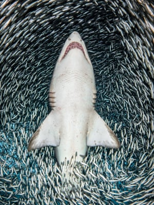 """Portrait category - winner. A sand tiger shark surrounded by tiny bait fish by Tanya Houppermans (US). Location: Wreck of Caribsea, North Carolina Houppermans caught this dramatic shot whilst diving to the wreck of the Caribsea and seeing the fierce-looking, but docile, sand tiger sharks that frequent the wreck. On this particular day millions of tiny fish, collectively known as """"bait fish"""", were grouped together in an enormous bait ball above the wreck. As she moved with the shark through the water the bait fish parted way, giving her a clear shot of the underside of this beautiful shark."""