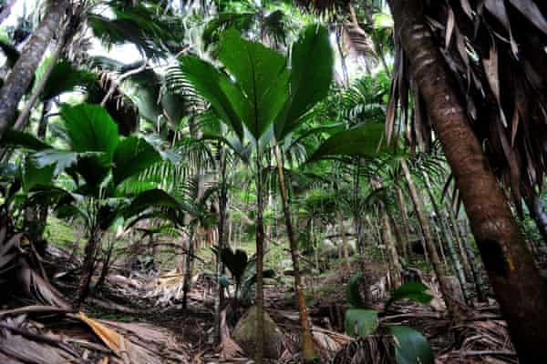 Young coco de mer palms in the Vallée de Mai nature reserve, a Unesco heritage site on Praslin Island, in Seychelles.
