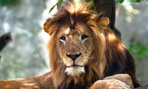 The male lion, Nyack