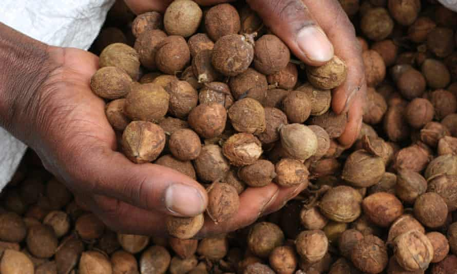 Croton nuts in in farmer's hands