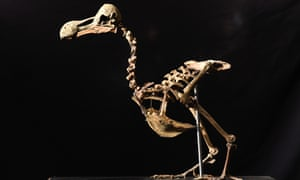 The dodo skeleton on display before its auction