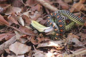 Paradise flying snake eats a gecko in West Bali national park in Indonesia. Photography by Ynda Dwi Septian