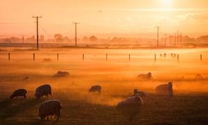 Sheep on Romney Marsh, Fairfield, Kent, England