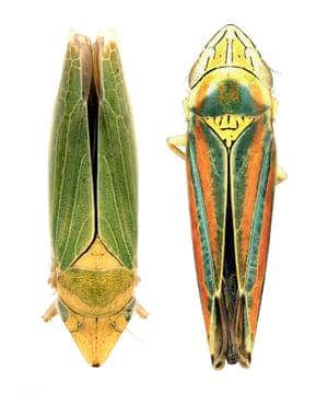 Leafhopper (Draeculacephala sp. (right). Left: Sharpshooter (Graphocephala versuta)