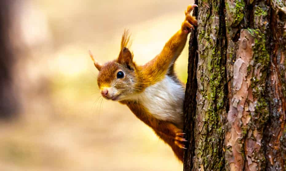 Red squirrel at Formby Point, Lancashire