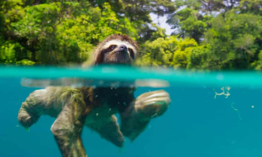 The pygmy sloth, the smallest of the species, in Planet Earth II.