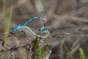 Mating common blue damselflies in Berkshire, England