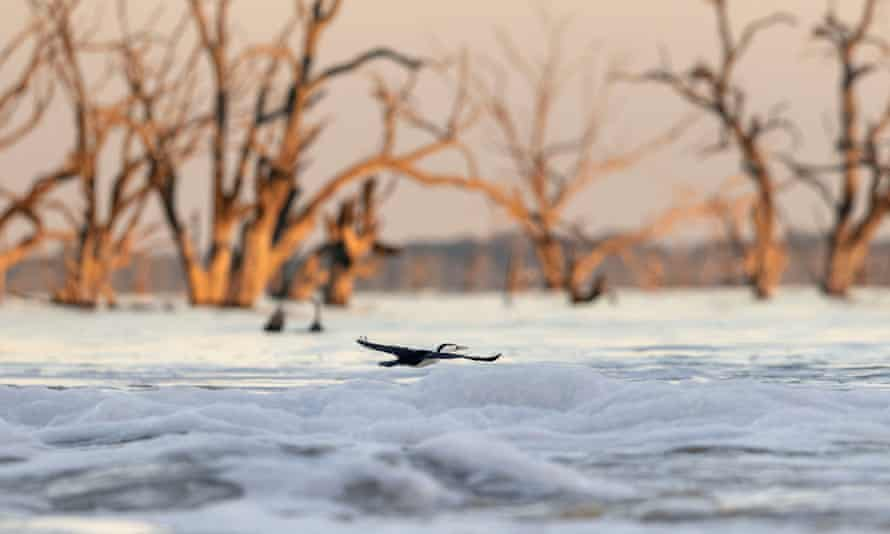 A pied cormorant fishes at Menindee Lake's main weir