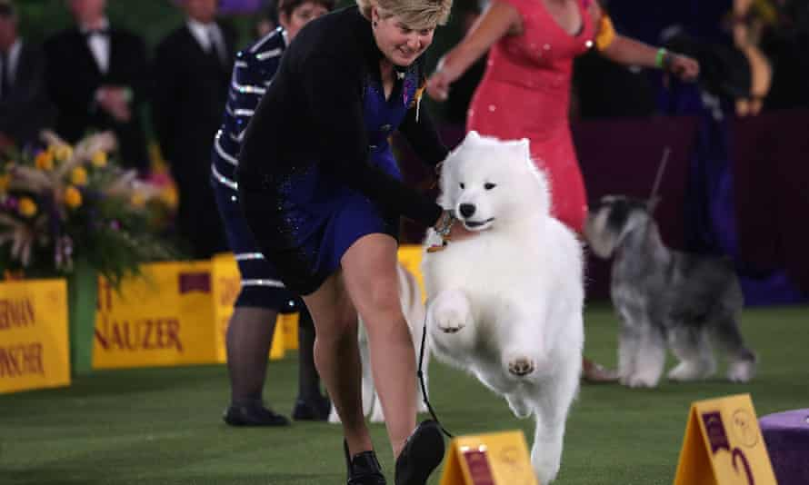 Striker, a samoyed from Toronto, Canada, is handled by Laura King