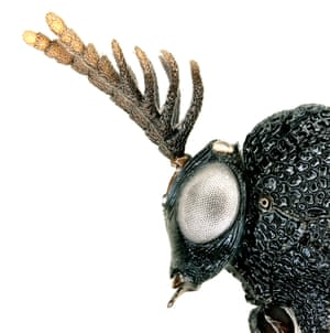 The branching antennae and huge torso of the male eucharitid wasp (Pseudochalcura gibbosa) are barely visible to the human eye. Since 2014, entomologists have sampled millions of insects around Los Angeles, identifying 800 species, including 47 new to science. The most striking of Los Angeles' miniature inhabitants are featured in an online exhibition, Spiky, hairy, shiny: insects of LA