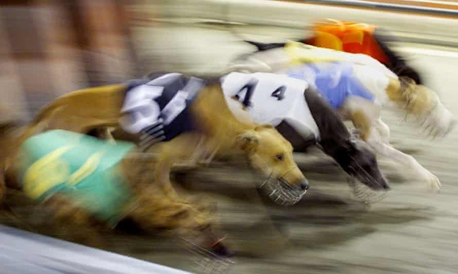 Greyhounds racing at Macau's brutal canidrome track.