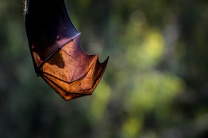 On hot days when resting in trees, flying foxes will spread their highly vascular wings, allowing more air to flow over them, which helps them cool down