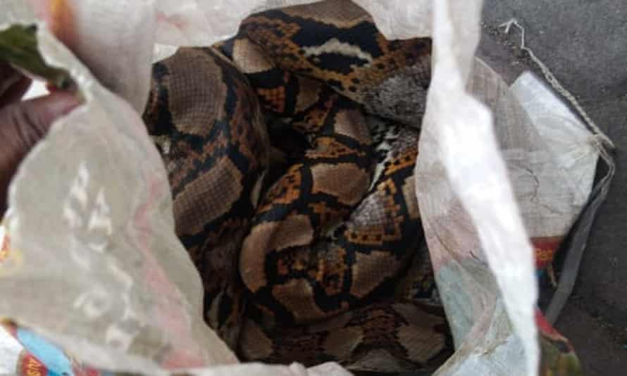 Sack containing a 15-20kg python