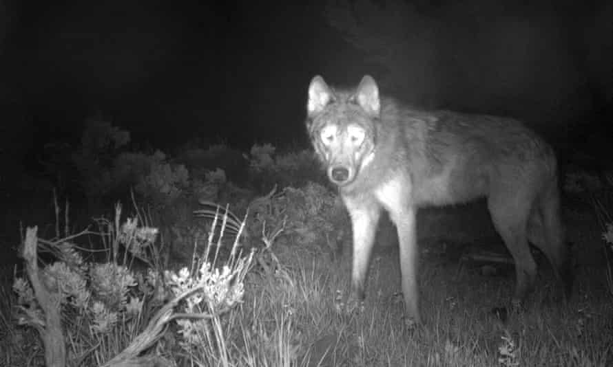 A wolf is captured on a state game camera in Moffat county, Colorado, last week. Colorado wildlife officials say the first gray wolf pups since the 1940s have been spotted in the state.