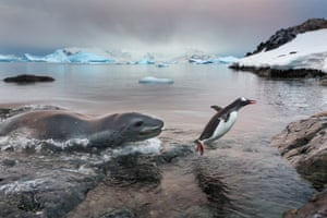 A leopard seal chases a gentoo penguin out of the freezing waters and on to the shore of Cuverville Island.