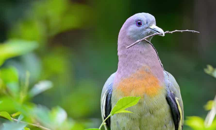 A male pink-necked green-pigeon (Treron vernans), collects twigs for preparing its nest. The pigeon has been coined 'hot pigeon' by Twitter users.