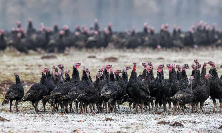 Turkey hens in Germany. The H5N8 strain is deadly for birds, and this marks the first transmission of the strain from animals to humans.