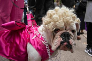 A bulldog dressed as Marilyn Monroe poses for a photograph during the annual Tompkins Square Halloween Dog Parade