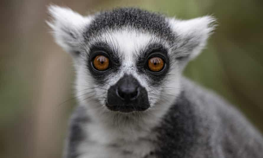 In October, a man swiped a ring-tailed lemur – a rare, endangered species native to Madagascar – out of the San Francisco zoo.