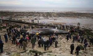 A dead sperm whale on Hunstanton beach in Norfolk, surrounded by onlookers