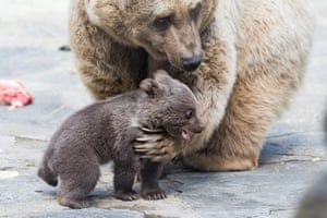 Bear cub with its mother in Servion, Switzerland