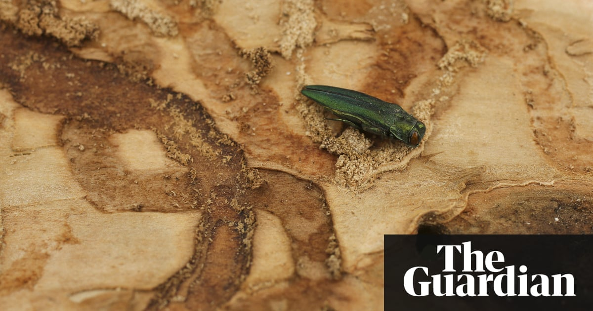 Ash trees under threat if harmful borer beetle finds way to Britain