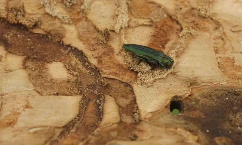 An emerald ash borer beetle