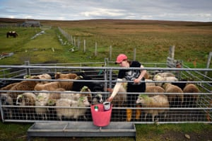 Lyn Robertson, one of the islands many crofters, with her sheep which will be taken off the island to be sold