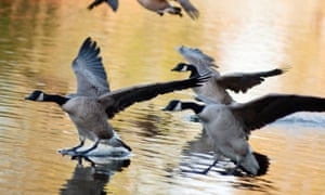 Canada geese land on the lake