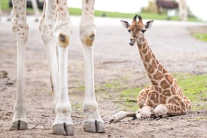 Bewdley, UKA baby Rothschild giraffe that was born this month at West Midland Safari and Leisure Park in Worcestershire.