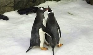 Penguin couple Sphen and Magic 'proposed' to each other in Sydney.