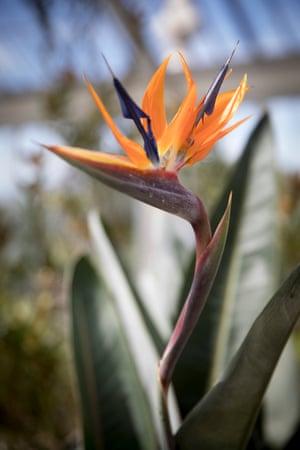 A bird-of-paradise flower, Strelitzia Reginae, inside the Temperate House