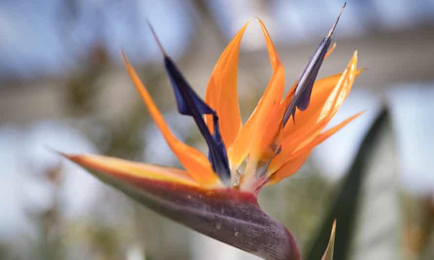Bird-of-paradise flower Strelitzia Reginae seen inside Kew Gardens Glasshouse.