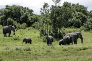 A family of elephants graze in Ol Pejeta conservation facility in Kenya