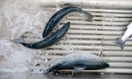 Salmon pass through a shower of fresh water at Huon Aquaculture's salmon farm at Hideaway Bay, Tasmania, Australia
