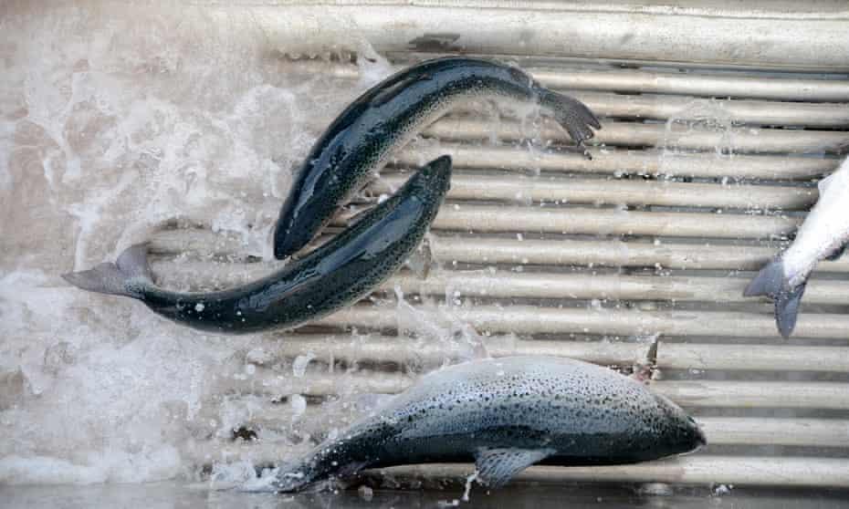 Farmed Tasmania salmon